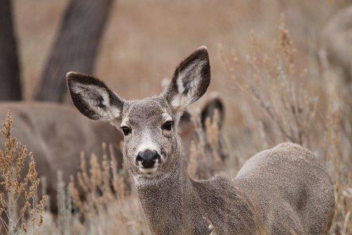 Mule Deer, Doe, Wildlife, North Dakota, Female, Hirsch