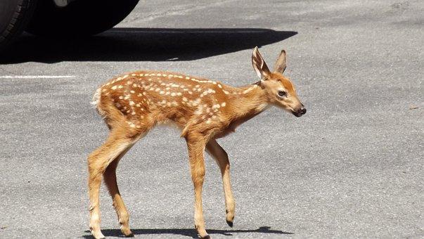 Fawn, Deer, Doe, Wildlife, Whitetail, Mammal, Urban