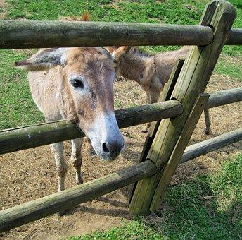 Donkey, Animal, Farm, Face, Curious, Mammal, Domestic