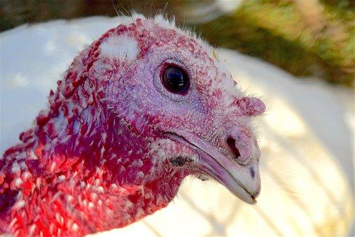 Turkey, Farm, Bird, Feather, Poultry, Rural, Domestic