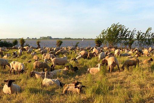 Animal, Sheep, Ovillus, Flock Of Sheep, Dike, Sea, Elbe