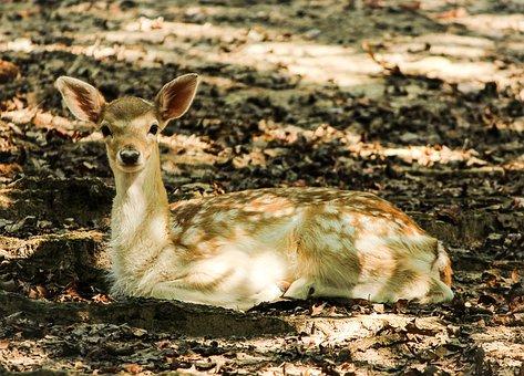 Fallow Deer, Fawn, Ruminant, Cervidae, Zoo, Wildlife