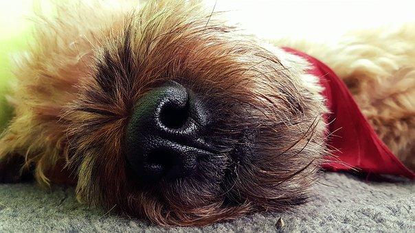 Dog, Sleep, Animal, Rest, Tired, Bria, Fatigue, Break