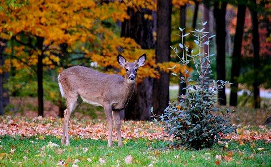 Fauna, Deer, Fall, Leaves, Park, Animal, Nature