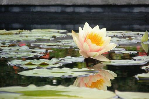 Water Lily, Lily Pad, Flower, Reflection, Water, Pond