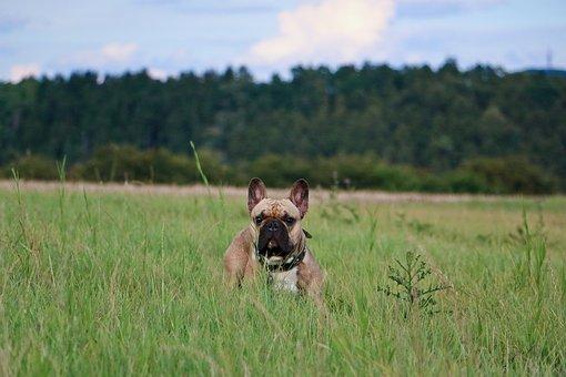 French Bulldog, Frenchie, Bulldogs, Bully, Dog, Buddy