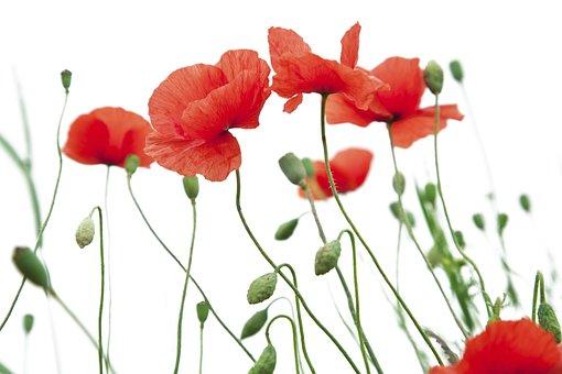 Poppy Flower, Poppy, White Background, Funds, Freshness