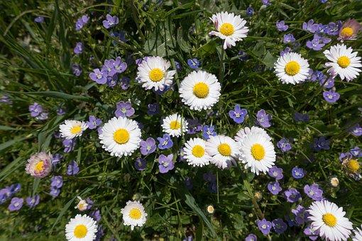 Meadow, Spring, Flower, Daisy, White, Grass, Blossom