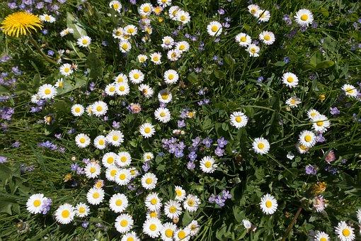 Meadow, Spring, Flower, Daisy, Dandelion, White, Grass