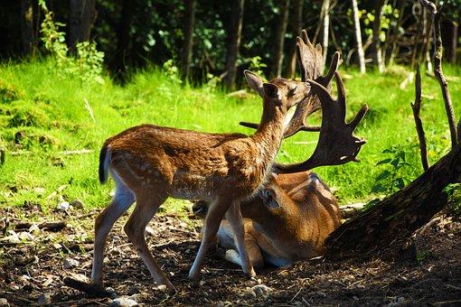 Roe Deer, Hirsch, Wild, Forest, Antler, Nature, Animal