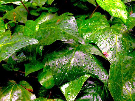 Ivy, The Vine, Drop Of Water, Rain Water, Flower Bed