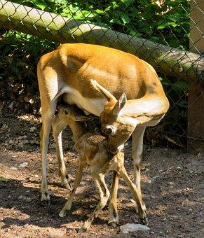 Roe Deer, Kitz, Young, Fawn, Cute, Bambi, Young Deer