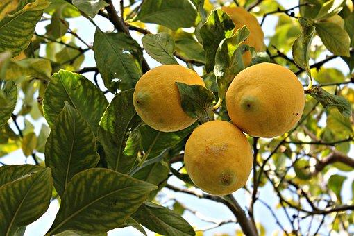 Lime, Lemon, Fruit, Mediterranean Fruit, Fruit Tree