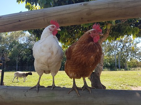 Chickens, Poultry, Hens, Livestock, Agriculture, Nature