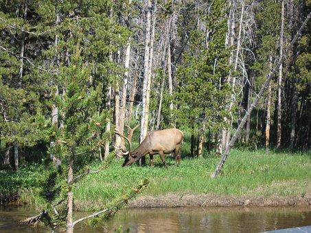 Elk, Woods, Animal, Mammal, Park, Antlers, Outdoors