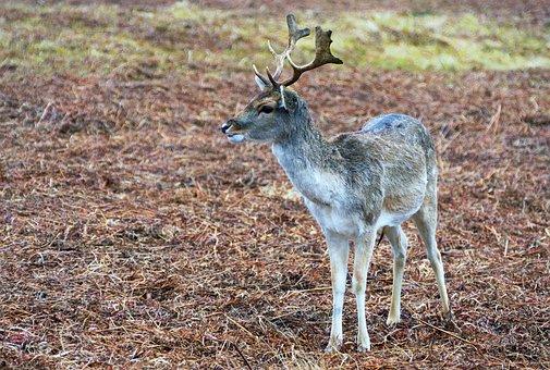 Deer, Stag, Red, Mammal, Nature, Animal, Wildlife, Male