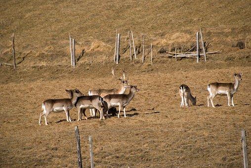 Wild, Fallow Deer, Mammal, Roe Deer, Hirsch, Antler