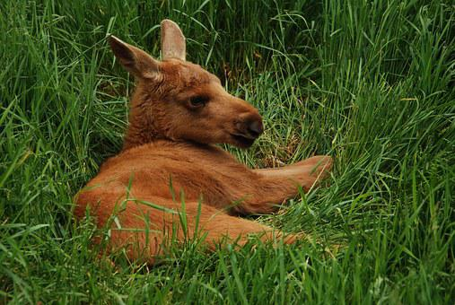 Moose, Sweden, Moose Child, Young, Young Animal, Mammal