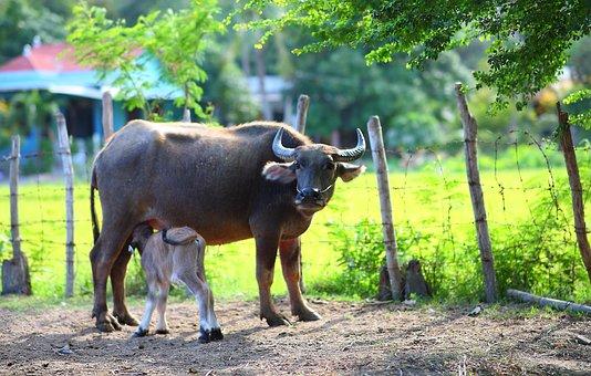Buffalo, Calf, Mammals, Feeding, Milk, Motherhood