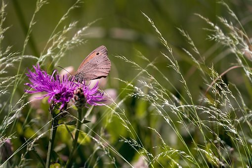 Wigs Knapweed, Butterfly, Meadow Brown, Pointed Flower