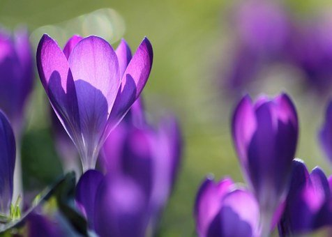 Flower, Crocus, Garden, Autumn Crocus, Meadow Saffron