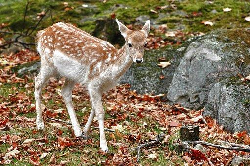Fallow, Deer, Nature, Animal, Mammal, Wild, Wildlife