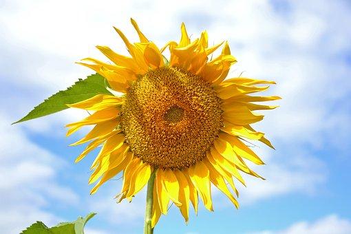 Sunflower, Plant, Yellow, Sunny, Dacha, Nature
