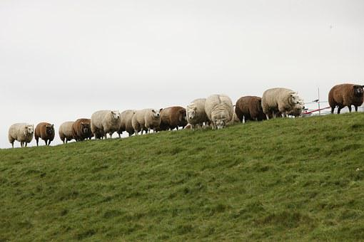 Sheep, Dike, Sheep On Dyke, Wool, North Sea, Pasture