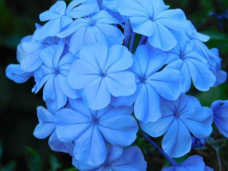 Flowers, Blue, Blue Flower, Plants, Nature, Petals