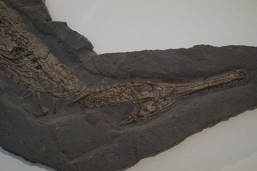 Fossil, Crocodile, Skeleton, Fossilized, Petrification