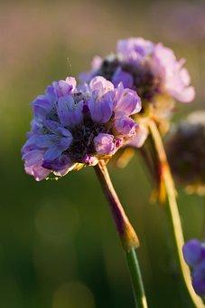 Nature, Sea, Grass Elke, Carnation, Flower, Pink, Macro