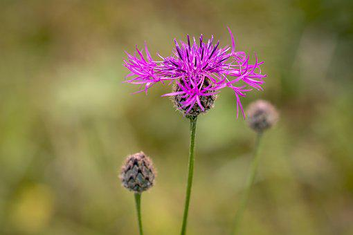 Flower, Pointed Flower, Wigs Knapweed