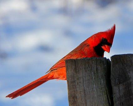 Bird, Nature, Cardinal, Male Cardinal, Winter, Red