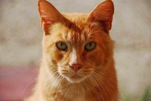 Red, Animal, Portrait Of Cat, Pet, Cat's Eye, Cat Face