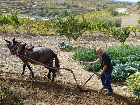 Plow, Mule, Labrador, Work, Break, Rustic, Traditional