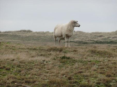Sheep, Dike, Sheep On Dyke, Nordfriesland, North Sea