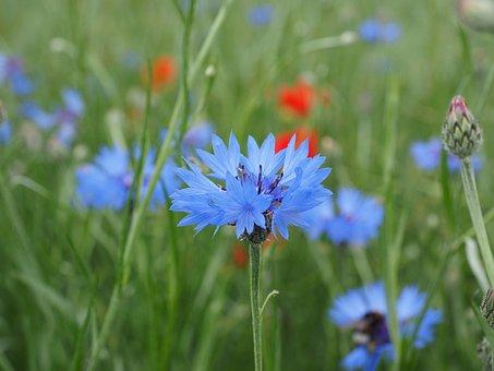 Cornflower, Flower, Blossom, Bloom, Blue, Sky Blue