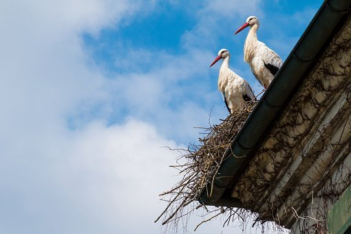Storks, Nest, Stork, Bird, Storchennest, Nature, Animal