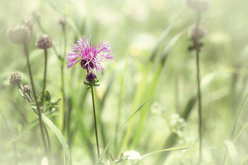 Summer, Summer Meadow, Natural Lawn, Meadow, Plant