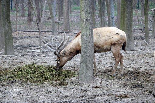 Elk, Grazing, Wetland Park, Animal, National Park