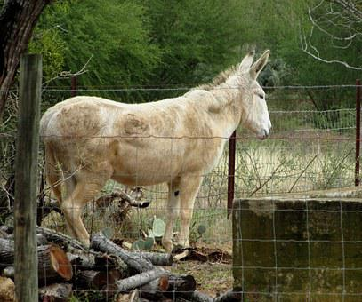 Mule, Donkey, Animal, Old, White, Nature
