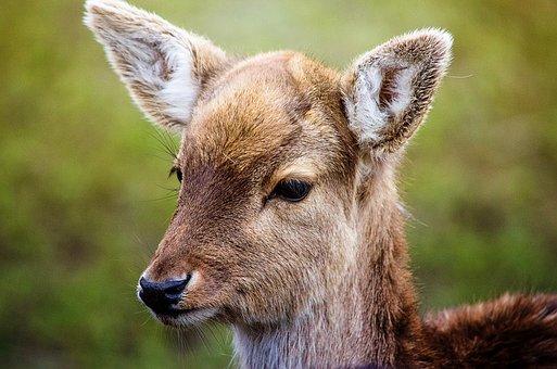 Roe Deer, Fallow Deer, Wild, Animal, Red Deer