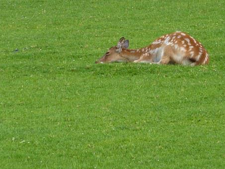Kitz, Fawn, Bambi, Roe Deer, Forest, Wild, Young
