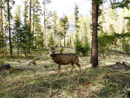 Deer, Mule Deer, Nature, Wildlife, Animal, Mammal, Wild