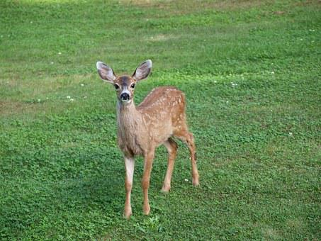 Fawn, Deer, Baby, Animal, Wildlife, Young, Nature