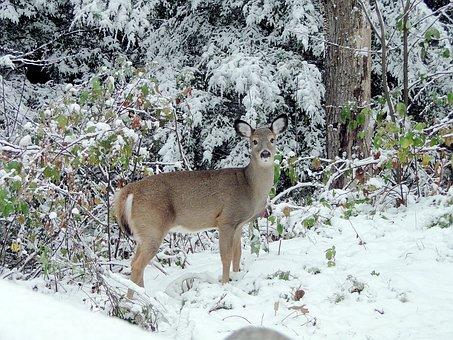 Deer, Fawn, Winter, Wildlife, Forest, Animal, Snow