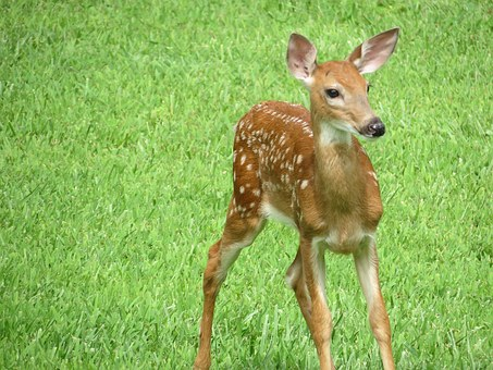 Whitetail, Fawn, Deer, Wildlife, Cute Animals