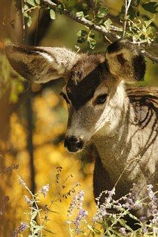 Mule Deer, Fawn, Animal, Wildlife, Mammal, Young