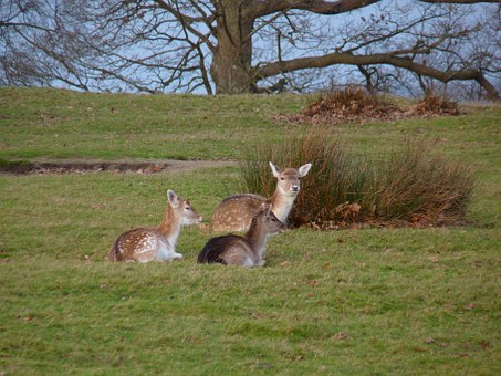 Young Deer, Sitting, Deer, Young, Animal, Wild, Nature
