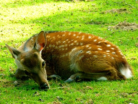 Sika Deer, Hirsch, Fawn, Mammal, Animal, Forest, Young